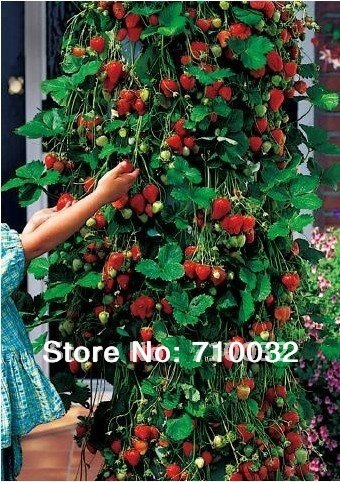 300pcs/lot free shipping climbing strawberry seeds fruit seeds for DIY home garden
