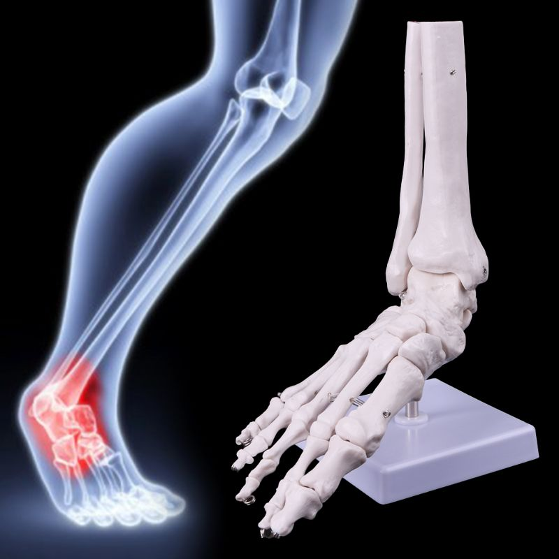 Life size Foot Ankle Joint Anatomical Skeleton Model Medical Display Study Tool 21 x 8 x 25cm