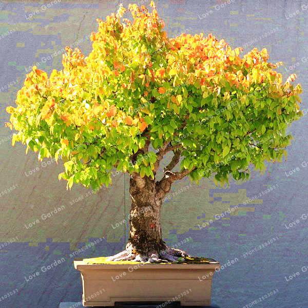 Heirloom อินทรีย์ 5 ชิ้นแปะก๊วย Biloba Gingko Maidenhair Tree Bonsai ถั่ว Bonsai Tree Grown จากบอนไซหม้อสำหรับ Home สวน