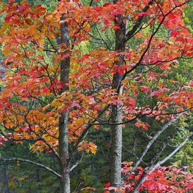 Autumn Sugar Maple Trees. Algonquin Provincial Park  Ontario. Canada. Poster Print (22 x 34)