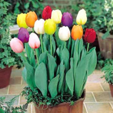 Tulips bulbs seed the four seasons simple paperback kind of green plant home garden bonsai seed