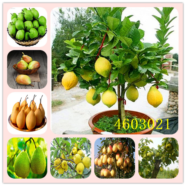 20 Pcs Bonsai Pear Plant Mini Pear Tree Plant Super Sweet Fruit Plant Quality Potted Plants For Home Garden DIY Decoration