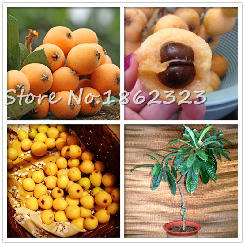 5pcs Loquat SANHOC 10 Pcs Loquat Fruit Tree Plant Eriobotrya Japonica Bush Tucker Chinese Bonsai Tree Eriobotrya Japonica Sweet Taste Nutrition