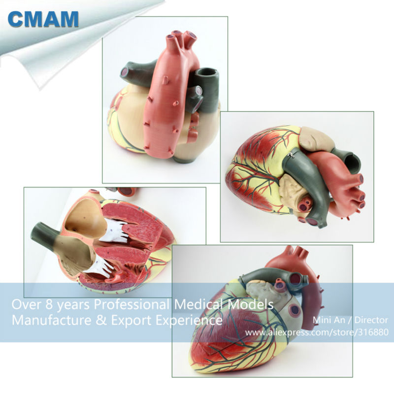 CMAM HEART09 Oversized Human Heart Anatomical Model 3 Parts Anatomy Models Heart Models