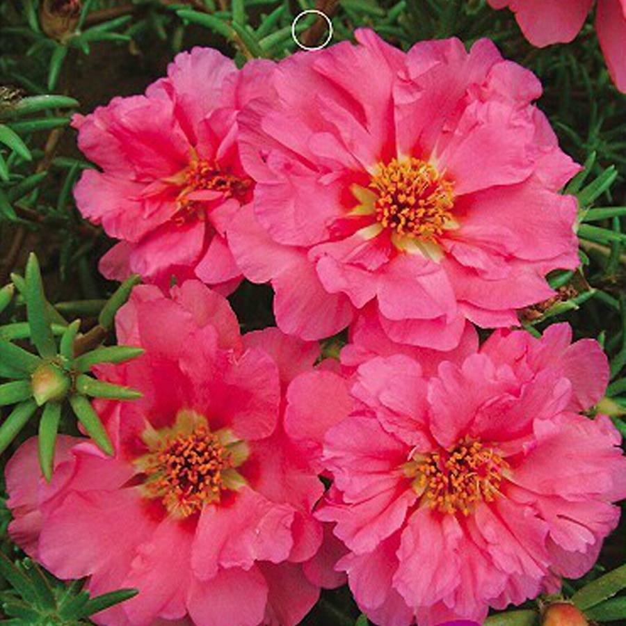 Bellfarm Bonsai Pink Portulaca Grandiflora Homegrown Moss Rose Sun
