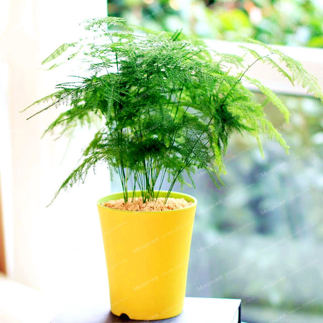 30Pcs Asparagus Fern Tree Seeds Evergreen Indoor Potted Plants ...