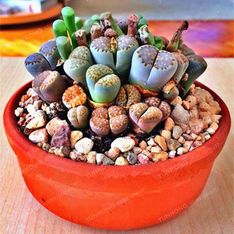100 Pcs Seeds Lithops Pseudotruncatella Living Stone Rare Succulent Seeds Home Garden Plant Seeds Easy To Grow