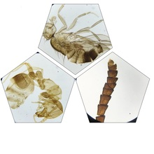 Wholesale 25PCS Prepared Insects Mosquito Housefly Honeybee Butterfly Chafer Specimen Scetion Microscope Slides for Biology Study