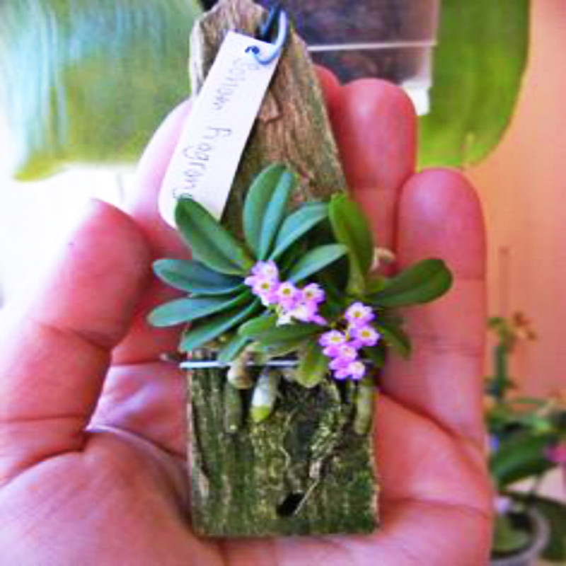 Packing 100pcs Orchid plants rare and mini Phalaenopsis Flower plants For Home Garden Decoration Indoor Plants Flowers Sementes vacation