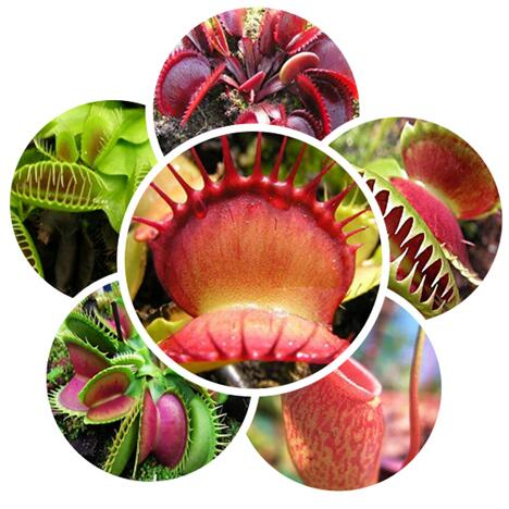 GGG Hot selling 100pcs Plant Dionaea seeds flower seeds bonsai flowers DIY home garden free shipping