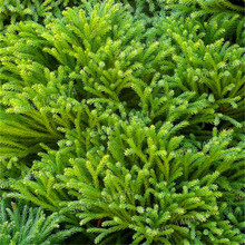 100pcs/bag Cryptomeria fortunei seeds Japanese Cedar Divine Woody Bonsai Bulgaria Semente bonsai tree seeds Outdoor Plants