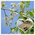 Venta caliente Nuevo 2016 Home Garden Plant 20 unids/lote Baqueta Árbol Milagro Ben Aceite de Moringa Oleifera Semillas Bonsai envío libre