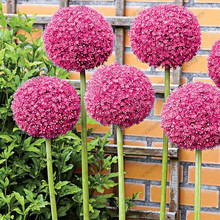200 pcs Giant Allium Giganteum Bonsai Flower Plant Purple Organic Gorgeous for Garden Decoration