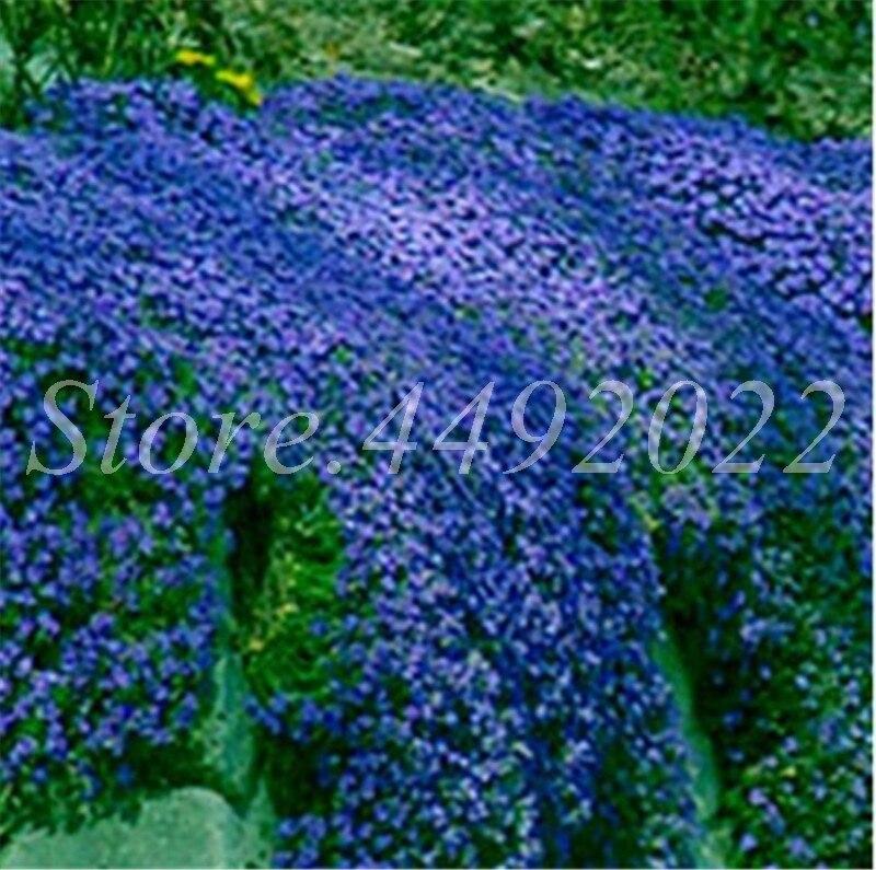 Hot Sale 300 Pcs Bag Rock Cress Flower Aubrieta Cultorum Rare