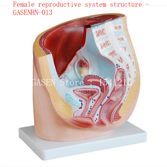 female genitalia, uterus, vagina and uterine ligaments are available Female reproductive system structure - GASENHN-013 nasrin zahan reproductive health and women s issues