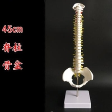 цена на 45cm Human spine mannequin 1:1 adult orthopedic exercise spine model / cervical vertebrae lumbar human skeleton model A263
