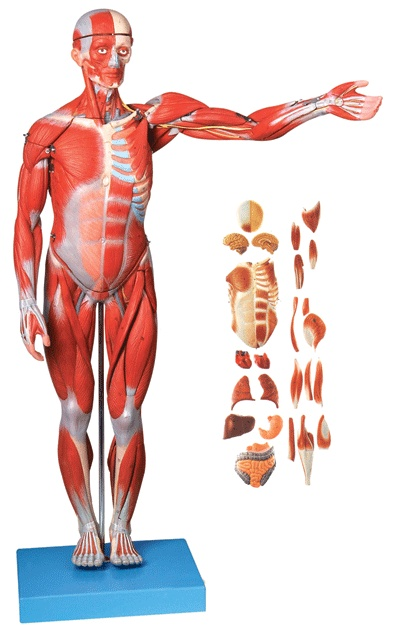 78CM HUMAN MUSCLE MODEL MALE (27 PARTS 238 Marks) internal Organs ...