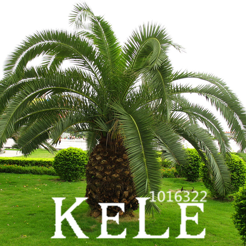 Big Promotion Cycas Plant Seeds Potted Flower Seed For Diy Home Garden Household Items 10 Pcs