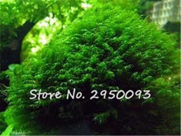 Phoenix Moss Seeds Sagina Subulata Seeds, Bonsai Decorative Water Grass  Seeds Home Garden Beauty Fish