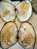 Monster Pearls Natural Freshwater Big Monster Oysters Bulk 5pcs Vacuum Packed Natural Beads Big Wish Pearl Oyster Shell BM006