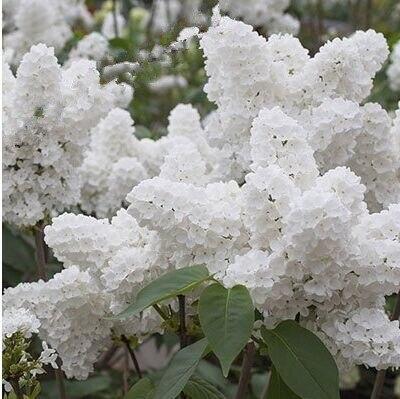 100 stücke Weiß Japanische Lila anlage einfach wachsen (Extrem ...