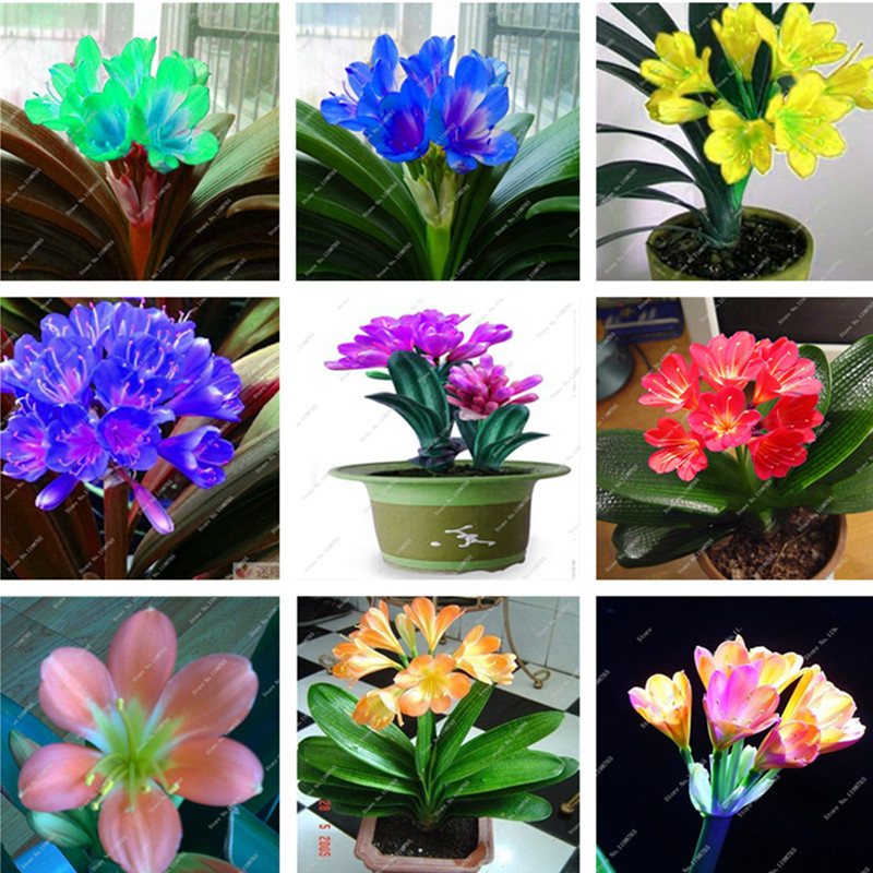 50 cheap clivia seeds beautiful potted plant bonsai balcony flower gorgeous clivia flower seeds - Potted gardentricks beautiful flowers ...