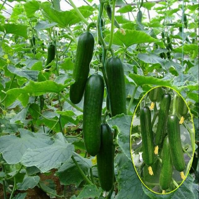 Cucumber Hot selling 100 seeds fruit cucumber ,Cuke , Green,white, red, Cucumber Seeds
