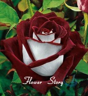 20 Abracadabra Rose seeds,rare color ,Osiria Rose gorgeous flower ...