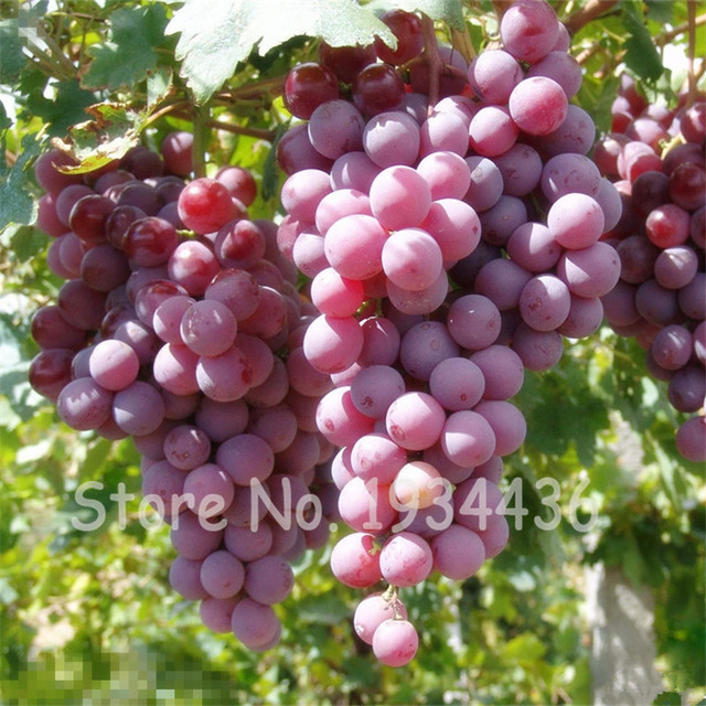100 piezas de plantas de cultivo de uva de Holanda plántulas de árboles frutales Fiori Da giardinosaurio de fácil cultivo Mini Jardin Bonsai planta pequeños regalos