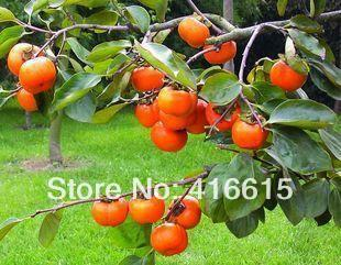 TỨ TUYỆT HOA 2 - Page 6 30-Original-Japanese-Persimmon-Big-Size-Fruit-Seeds-Diospyros-Kaki-Exotic-Bonsai-Fruit-Tree-PLUS-MYSTERIOUS