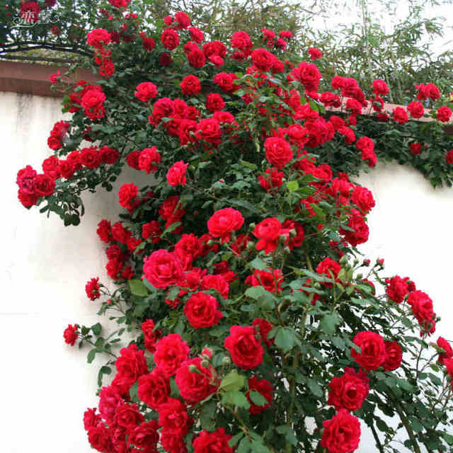 ZLKING 50 الأحمر روز شجرة رائع مشرق الملونة DIY الرئيسية حديقة مزروع بلكونة و ساحة زهرة النبات