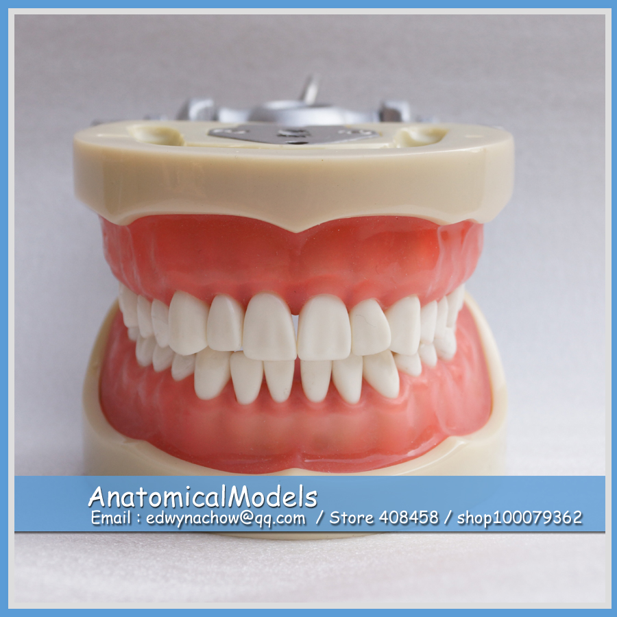цена 13012 DH110 Soft Gum 32pcs Teeth 200H Type Standard Jaw Model, Medical Science Educational Dental Teaching Models онлайн в 2017 году
