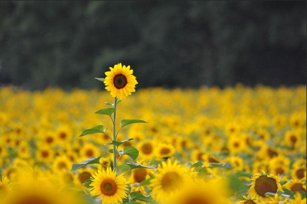 """Képtalálat a következőre: """"sunflower bokeh"""""""