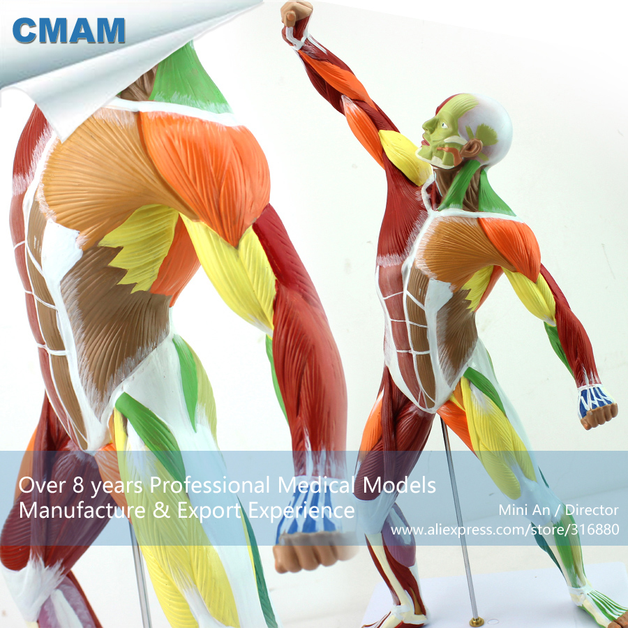 CMAM-MUSCLE14 Small 55cm Human Body Model of Color Muscle Module ,  Medical Science Educational Teaching Anatomical Models cmam muscle06 human anatomical muscle model of head and neck