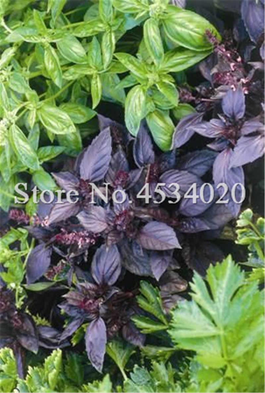 200 шт Basil сладкий оцимум басиликатный растительный ароматный для домашнего сада посадки лекарственных и ароматических растений легко выращивать