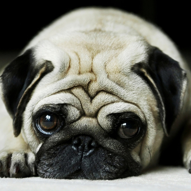 Lovely Pug Dog