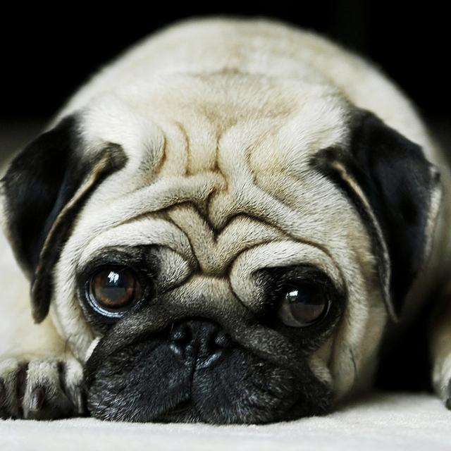 Lovely Pug