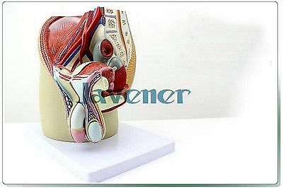 Male Pelvic Cavity Anatomical Male Reproductive System Anatomy Medical Model human female pelvic section anatomical model medical anatomy on the base