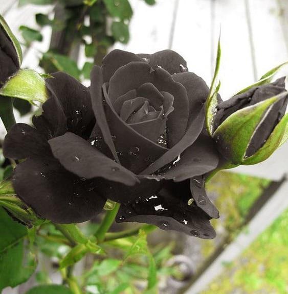 Promotion! 20 Rare Natural Black of Night Rose Seeds Bonsai Flower Bush Plant