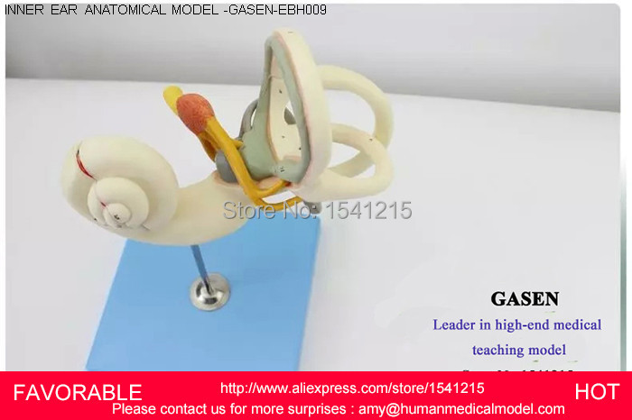 INNER EAR LABYRINTH,HUMAN ANATOMICAL MAGNIFY LABYRINTH INNER EAR ANATOMY MEDICAL MODEL SCHOOL HOSPITAL PROFESSIONAL-GASEN-EBH009 human anatomical male body integral skeleton organ skin medical teach model school hospital