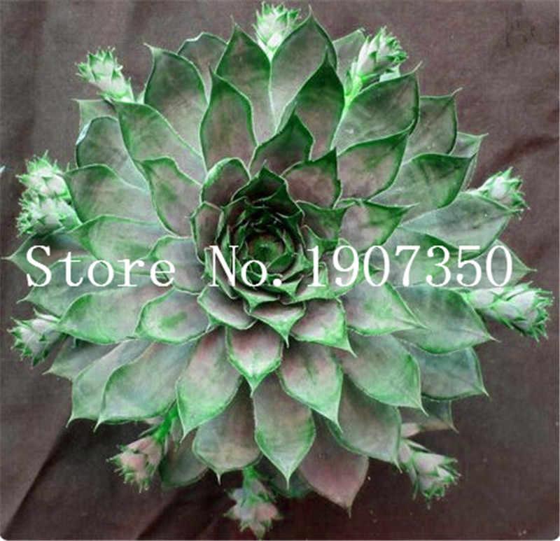 100 Pcs Amazing Sempervivum Plants Mixed Mini Garden Succulents Cactus Bonsai Perennial -House Leeks Live Forever Easy To Grow