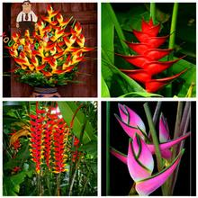 Hot Sale 100pcs Rare Strelitzia Reginae Seeds  Indoor Plants Flowers Bird Of Paradise Flower Seed For Garden Plant