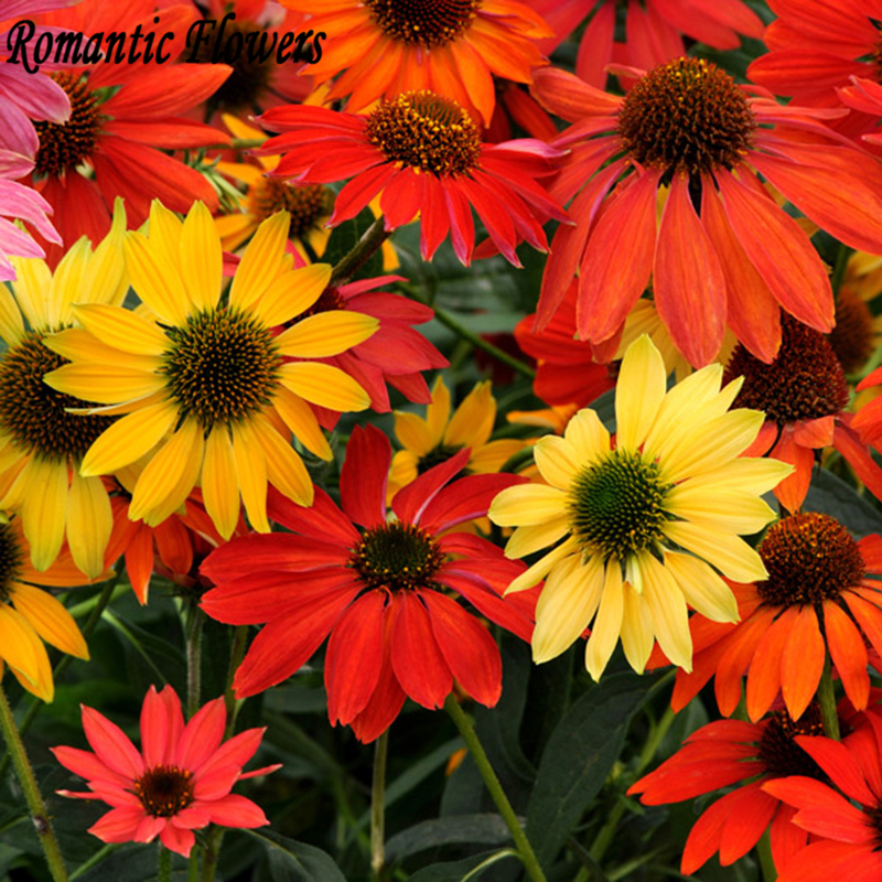"Hardy Perennial Seed Chrysanthemum ""Cheyenne Spirit Mix"