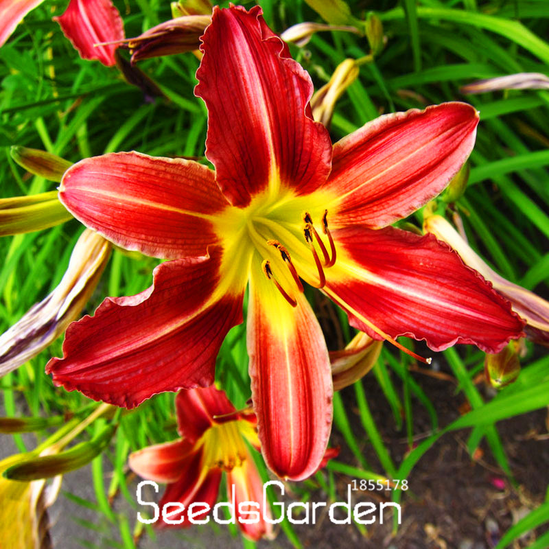 New Seeds 2016!50 Pieces/Pack Lily Seeds Balcony Bonsai