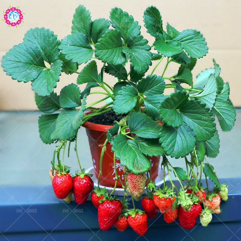 300pcs/bag Strawberry Seeds,Bonsai perennial indoor plant delicious organic fruit seeds,Edible food potted plant for home garden