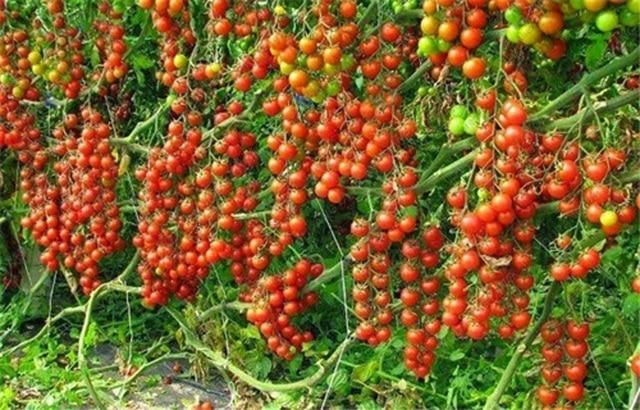 100 pièces escalade tomate comestible tomate bonsaï plantes végétales nourriture bonsaï pot maison jardin plantation 5