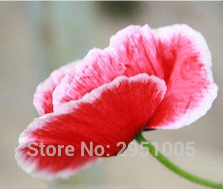 100 pz Fiore rosso onda onda mais papavero testa di fiore di lunghezza