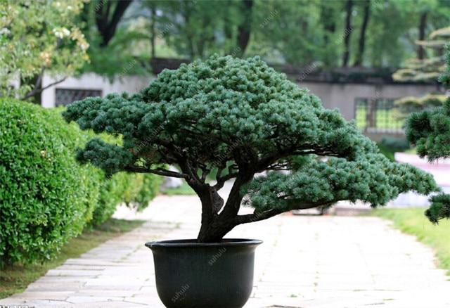 50 Pcs Chinese Rare Evergreen Cedar Plant Bonsai Beautiful Indoor Decoration Natural Perennial Authentic Pine evergreen plants