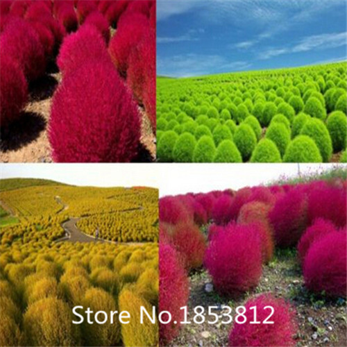 Sale!500piece 16 Colors Kochia Scoparia seeds 2016 New Garden Flowers Four Season Sowing World Rare Flower Seeds For Garden