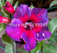 100 Genuine Kaleidoscope Adenium Obesum Seeds 100 SEEDS Bonsai Desert Rose Flower Plant Seeds